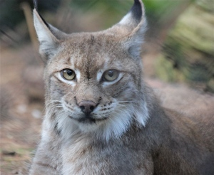 Northern Lynx, photographed in Britain - at the New Forest Wildlife Park.