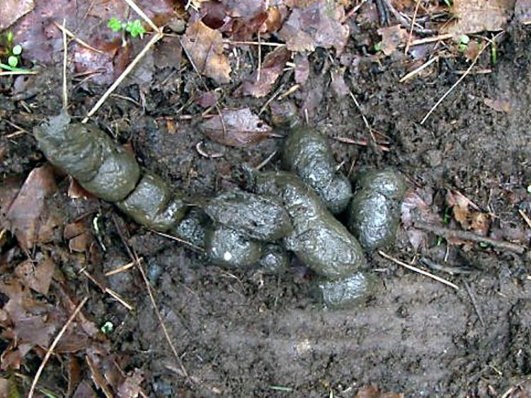 domestic-cat-faeces